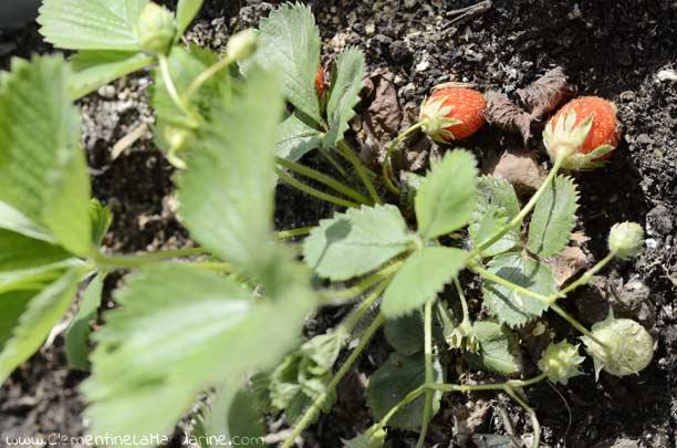 Plantes commestibles à faire pousser sur ton balcon