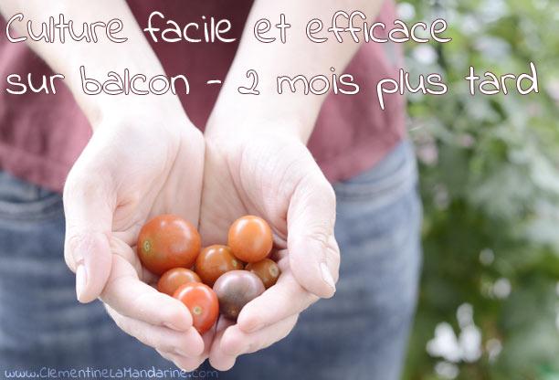 Culture facile, gratuite et écologique de tomates sur balcon