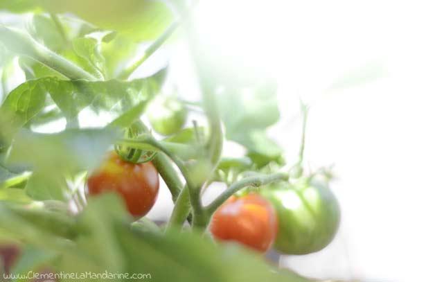 tomates-sur-le-balcon-culture-facile-clementine-la-mandarine