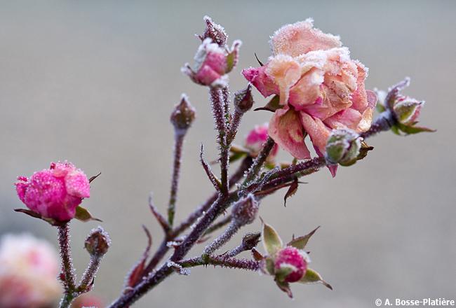 12-© Antoine Bosse-Platière - Rose de glace (1)