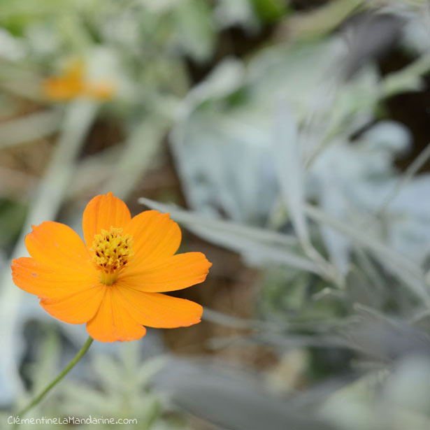 cosmos-balcon-bio-clementine-la-mandarine