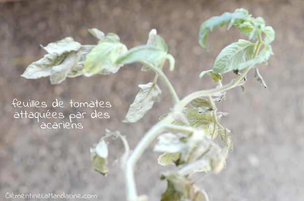 tomate-acariens-clementine-la-mandarine