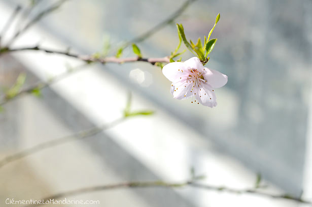 fleur-pecher-clementine-la-mandarine