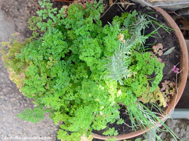 herbes-aromatiques-en-pot-clementine-la-mandarine