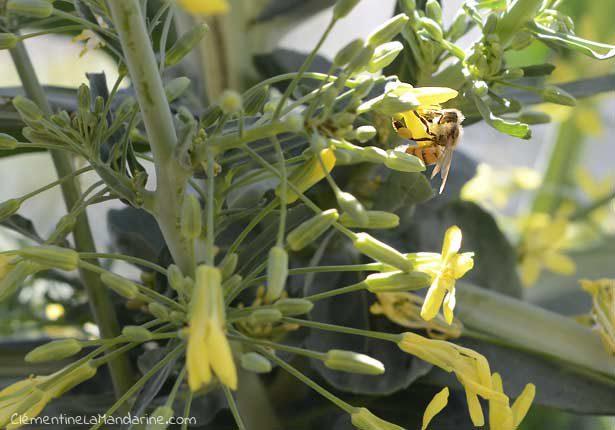 abeille-balcon-potager-clementine-la-mandarine