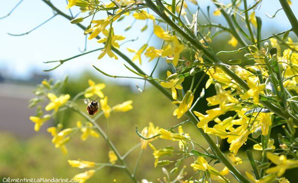 insectes-butineurs-balcon-bio-clementine-la-mandarine